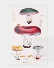 Russula Mushrooms Postcard
