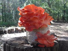 Oyster Mushroom Fruiting Kit - (Pleurotus sp.)