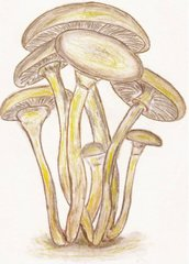 Honey Mushrooms Postcard