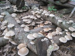 Mushroom Plugs - 1000 count - PICKUP AT FARM ONLY, THIS PRODUCT DOES NOT SHIP