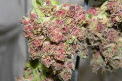 Plushberry Weed For Sale