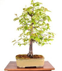 "Chinese Quince 23"" Tall Bonsai"