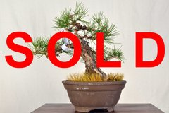 "Japanese Black Pine 12"" Tall Bonsai"