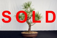 "Japanese Black Pine 19"" Tall Bonsai"