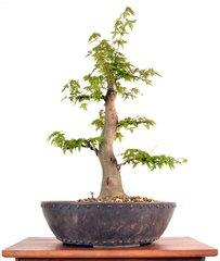 """Trident Maple 18"""" Tall Bonsai"""