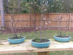 Workshop - Japanese Maple Bonsai 3 Tree Forest March 10 2018