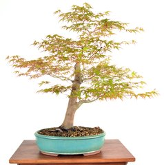 "Japanese Maple 19"" Tall Bonsai"
