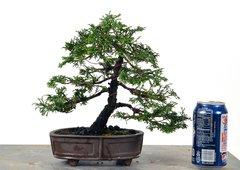 "Hinoki Cypress 8"""