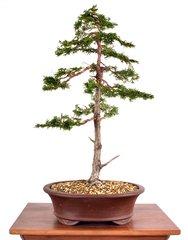 "Hinoki Cypress 21"" Tall Bonsai"