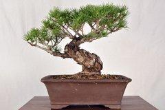 """Japanese White Pine 12"""" Tall Bonsai"""