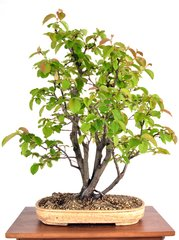 "Japanese Quince 22 1/2"" Tall Bonsai"