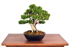 "Procumbens Juniper  8 1/2"" Tall Bonsai"