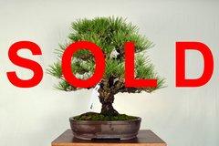 """Cork Bark Japanese Black Pine 19"""" Tall Bonsai"""