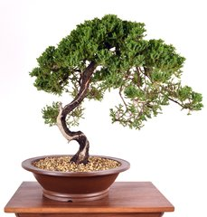 "Procumbens Juniper  18"" Tall Bonsai"