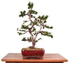"Seka Hinoki 14"" Tall Bonsai"
