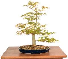 """Japanese Maple 14"""" Tall Bonsai"""