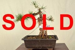 "Japanese Black Pine Exposed Root 14"" Tall Bonsai"