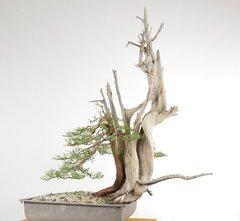 One Seed Juniper Bonsai - Yamadori