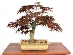 """Japanese Maple 11"""" Tall Bonsai"""