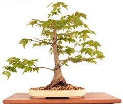 """Trident Maple 15"""" Tall Bonsai"""