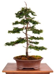 "Hinoki Cypress 22"" Tall Bonsai"