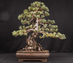"Japanese White Pine 18"" Tall Bonsai"