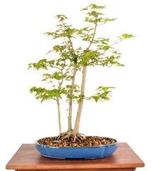 """Trident Maple 19"""" Tall Bonsai"""