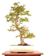 """Trident Maple 22 3/4"""" Tall Bonsai"""
