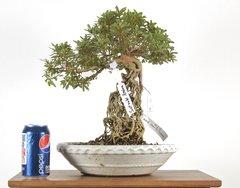 """Satzuki Azalea (Exposed Root) 14"""" Tall Bonsai"""