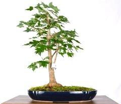 """Trident Maple 11"""" Tall Bonsai"""