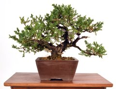 "San Jose Juniper 10"" Tall Bonsai"