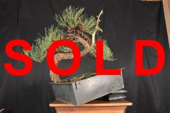 "Ponderosa Pine 18"" Bonsai"