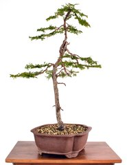 "Hinoki Cypress 22 1/2"" Tall Bonsai"