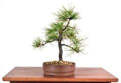 "Black Pine 10"" Tall Bonsai"