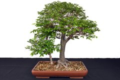 "Chinese Elm Double Trunk 21"" Tall Bonsai"