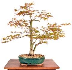 """Japanese Maple 17"""" Tall Bonsai"""
