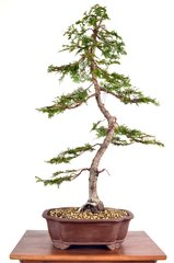 "Hinoki Cypress 29"" Tall Bonsai"