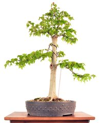"""Trident Maple 24"""" Tall Bonsai"""