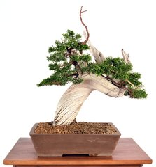 "Shimpaku Juniper Tanuki 14"" Tall Bonsai"