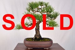 "Japanese Black Pine 16"" Tall Bonsai"