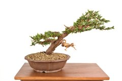 "Blue Alps Juniper 17"" Tall Bonsai"