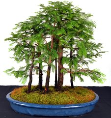 "Dawn Redwood Forest 20"" Tall Bonsai"