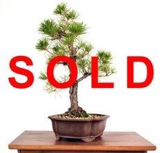 "Black Pine 16"" Tall Bonsai"