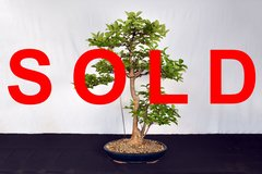 "Crepe Myrtle 31"" Tall Bonsai"