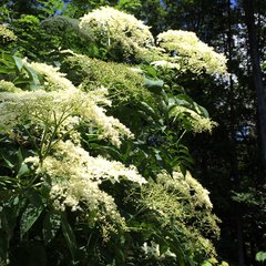 Native Trees & Shrubs (Available During Spring Only)