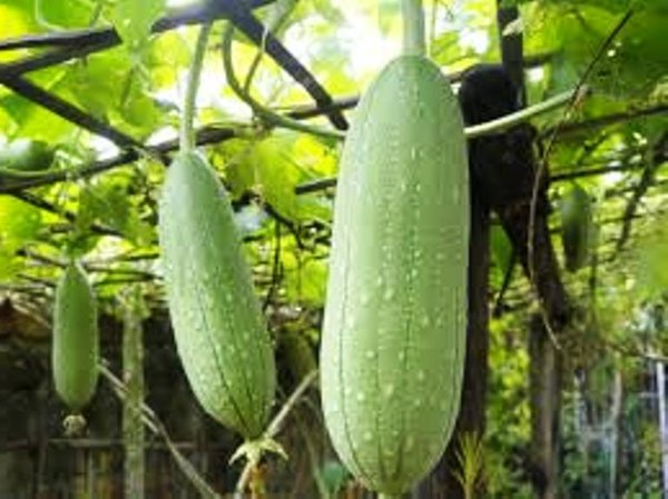 how to cut luffa gourd