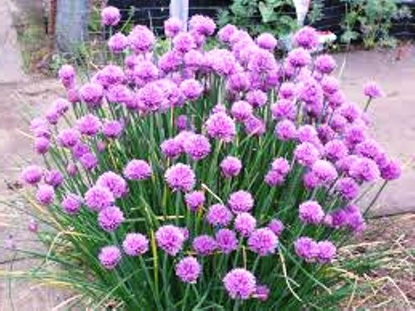 how to grow chives from seed