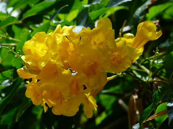 Tecoma stans yellow bells yellow trumpet bush 20 seeds tecoma stans yellow bells yellow trumpet bush 20 seeds mightylinksfo Choice Image
