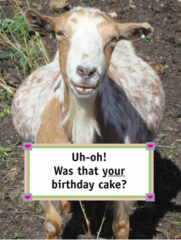Birthday Card: Uh-oh! Was that your birthday cake? - Item # GC Goat