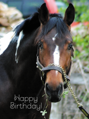 Birthday Card: Warmblood with a clover hanging out of his mouth. - Item # GC B Clover